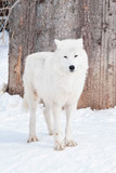 Wild alaskan tundra wolf is standing on white snow. Canis lupus arctos.