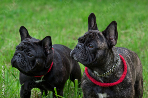 Foto Spatwand Franse bulldog Two cute french bulldogs is standing in the green grass. Pet animals.