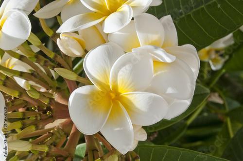 Foto Spatwand Plumeria Westindische Frangipani - Plumeria rubra