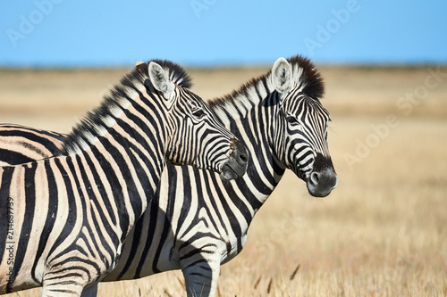 Two beautiful zebras in the African savannah. - 214687739