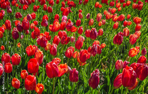 Canvas Tulpen Red Tulips