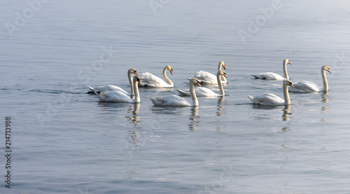 Canvas Zwaan Group of Swans swimming on the lake