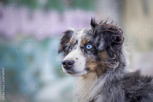 Mili the Miniature Australian Shepherd, Urban Dog, Graffiti