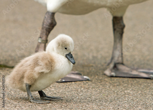 Canvas Zwaan A cute small fluffy Cygnet (baby swan) standing on the gravel ground with adult Swan in the background