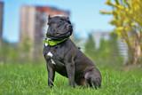 American Bully Dog Breed - 214782191