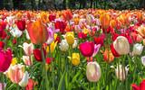 Tulipes - couleurs - Printemps - Jardin botanique - 214803145