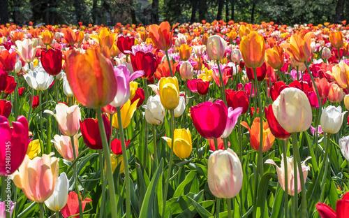 In de dag Tulpen Tulipes - couleurs - Printemps - Jardin botanique