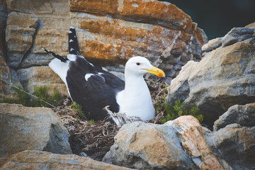 Close up image of a black backed seagull roosting on her nest on the sandstone cliffs in the Garden Route of south africa