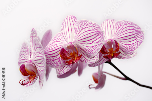 Striped white-pink orchid flower (orchidaceae) on the white background - 214814785
