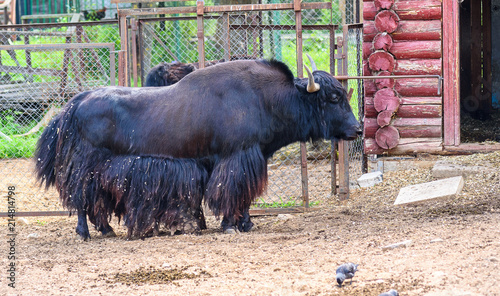 Canvas Bison bull in a zoo in a cage