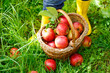 Leinwanddruck Bild - Closeup of basket with red apples and rubber boots on little child
