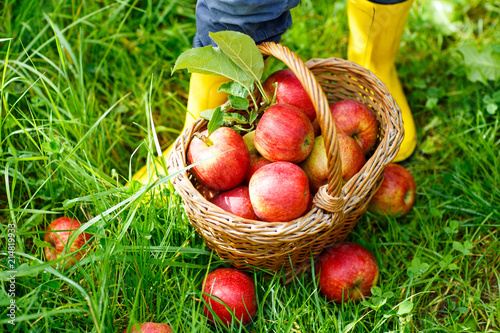 Leinwandbild Motiv Closeup of basket with red apples and rubber boots on little child