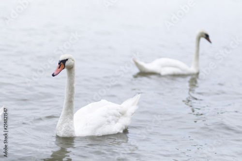 Canvas Zwaan Group of swans swimming on the River Danube