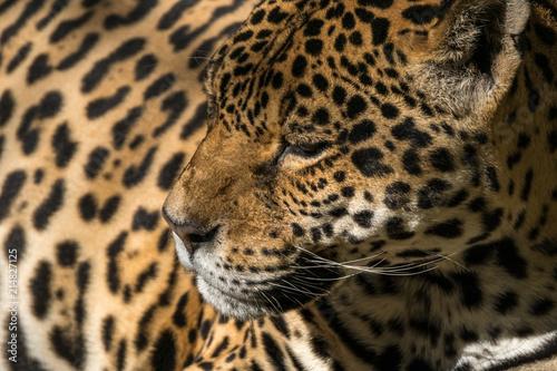 Foto Spatwand Panter Onça Pintada / Jaguar (Panthera onca)