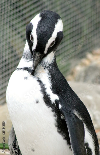 Canvas Pinguin Posed