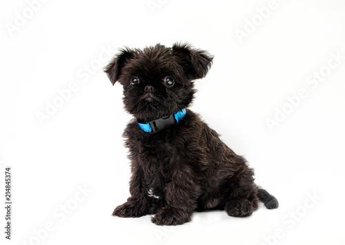 Foto Spatwand Brussel Griffon puppy on a white background