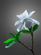 Gardenia jasminoides or Cape jasmine flower on black background