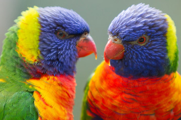 Close Up of Two Colorful Rainbow Lorikeets © Craig