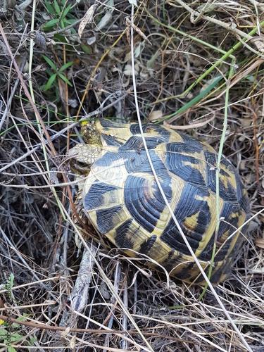 Foto Spatwand Schildpad tortue hermann corse