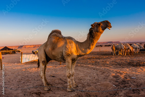 Canvas Kameel An elite Saudi dromedary male camel