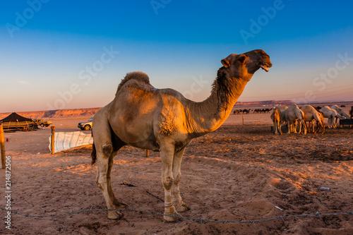 Fotobehang Kameel An elite Saudi dromedary male camel