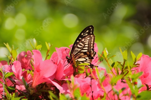Foto Spatwand Azalea ピンク色のツツジの花にアゲハ蝶
