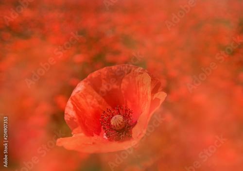 Foto Spatwand Baksteen Roter Mohn auf einem Mohnblumenfeld