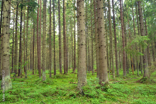 Foto Spatwand Zomer Pine forest at summer.