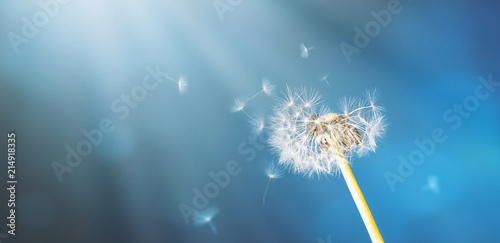 Fragile dandelion in front of an abstract blue backround with sunrays