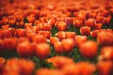 Sunset Red Tulip Field