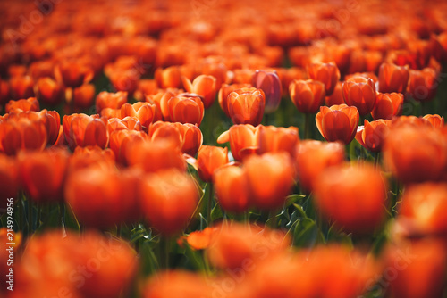 Fotobehang Tulpen Sunset Red Tulip Field