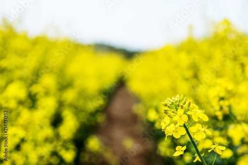 Plexiglas Geel Flowering rapeseed. Country road across rape field. Spring background. Canola or colza with dirt road. blooming rape or Brassica napus. Springtime and summer border