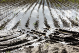 Flooded Potato Field. . Flooded agriculture fields. - 214941129