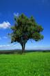 Leinwanddruck Bild - Gemeine Esche, Gewöhnliche Esche oder Hohe Esche (Fraxinus exce
