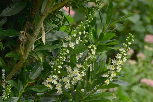 Leinwanddruck Bild Kirschlorbeer; Lorbeerkirsche; Prunus laurocerasus; Laurel cherry;