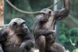 Schimpansen nebeneinander Blick zur Seite
