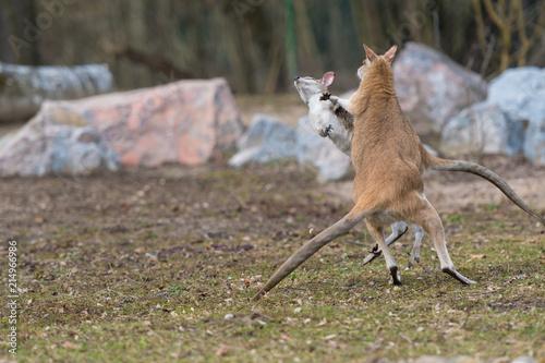 Plexiglas Kangoeroe Boxende Kängurus