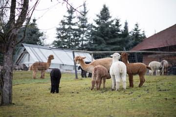 Alpacas auf Weide in Garten 1