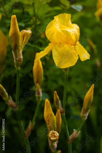 Canvas Iris Close-up view of an yellow iris flower on background of flowers and green leaves. Yellow tender iris is blooming in the garden in the summer day.