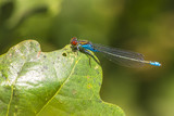 Closeup of a small red-eyed damselfly Erythromma viridulum perched in a forest - 215008148
