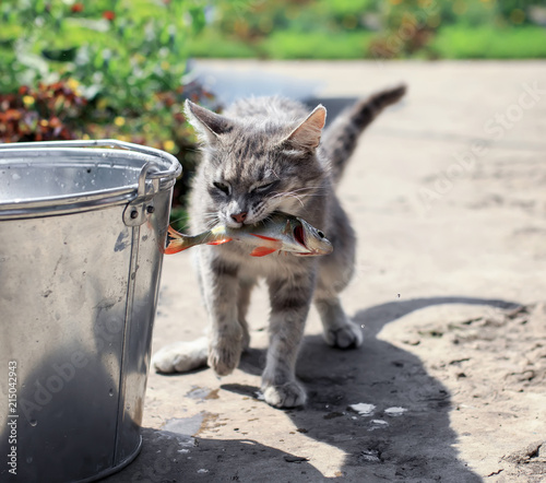 Canvas Kat deft striped kitten caught fish in a bucket on the street