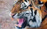 Very Anger Tiger