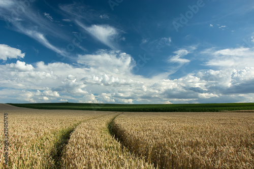 Aluminium Blauwe jeans Wheel tracks in wheat, corn and white clouds on a blue sky