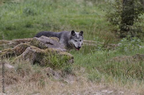 Aluminium Wolf Loup noir d'Amérique