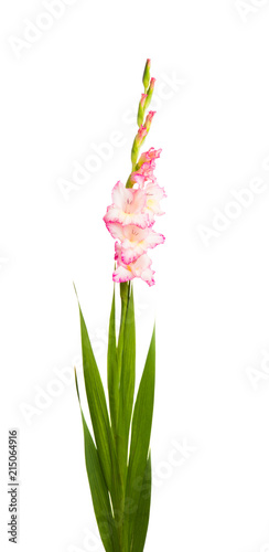 Canvas Iris Gladiolus flowers isolated