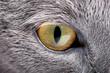 gray cat close-up