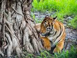 Tiger stays under the tree.