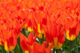 red tulips - 215068799