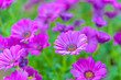 Leinwanddruck Bild - Top view of pink and violet flowers