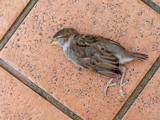 Dead young fledgeling sparrow, a gift from my pet cat. Killed and left on my patio. - 215080399